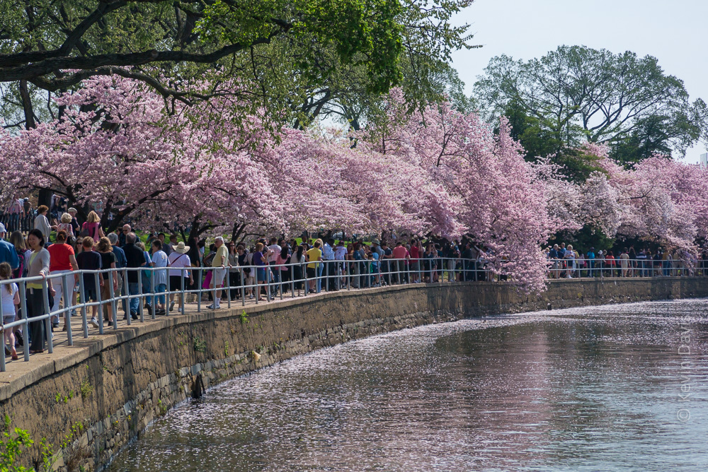 Yoshino Cherry trees encircle the tidal basin at Washington D.C.